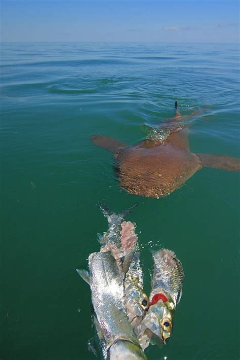 Light Tackle Shark Fishing in Islamorada and Marathon