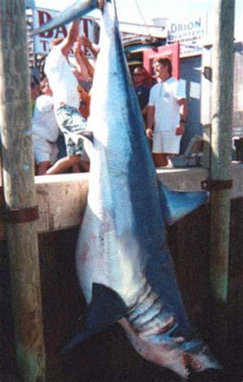 Big Fishes of the World: SHARK MAKO (Isurus oxyrinchus)